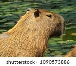 capybara in the wild and lake... | Shutterstock . vector #1090573886