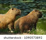 capybara in the wild and lake... | Shutterstock . vector #1090573892