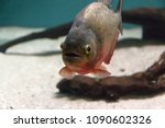 red piranha in a river fish... | Shutterstock . vector #1090602326