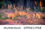 male red deer  cervus elaphus ... | Shutterstock . vector #1090611968