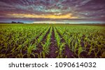 corn field under setting sun... | Shutterstock . vector #1090614032