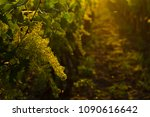 grape vine plants in bloom | Shutterstock . vector #1090616642