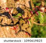 leaf budburst of a beech tree... | Shutterstock . vector #1090619825