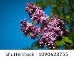 lilac. lilacs  syringa or... | Shutterstock . vector #1090623755