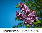 lilac. lilacs  syringa or...   Shutterstock . vector #1090623776