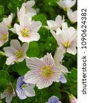 Small photo of flowers of common wood sorrel, Oxalis acetosella