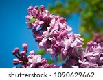 lilac. lilacs  syringa or... | Shutterstock . vector #1090629662