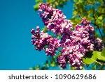 lilac. lilacs  syringa or...   Shutterstock . vector #1090629686