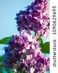 lilac. lilacs  syringa or... | Shutterstock . vector #1090629695