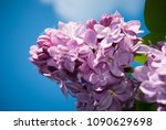 lilac. lilacs  syringa or... | Shutterstock . vector #1090629698