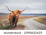 An Highland Cow With A Very...