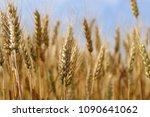 spikes of golden ripe wheat on... | Shutterstock . vector #1090641062