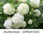 white flowers of viburnum snow... | Shutterstock . vector #1090647632