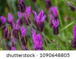 lavandula pedunculata  french... | Shutterstock . vector #1090648805