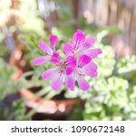 geranium fragrance with pink... | Shutterstock . vector #1090672148