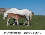 horse foal suckling from mare... | Shutterstock . vector #1090851542