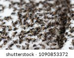 group of flies is trapped glue... | Shutterstock . vector #1090853372