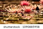 beautiful flowering pink water...   Shutterstock . vector #1090885958