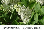 white lilac. white lilac...   Shutterstock . vector #1090921016