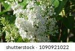 white lilac. white lilac...   Shutterstock . vector #1090921022