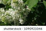 white lilac. white lilac...   Shutterstock . vector #1090921046