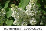 white lilac. white lilac...   Shutterstock . vector #1090921052