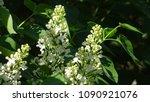 white lilac. white lilac...   Shutterstock . vector #1090921076