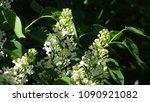 white lilac. white lilac...   Shutterstock . vector #1090921082