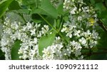 white lilac. white lilac...   Shutterstock . vector #1090921112