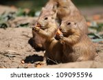cute little prairie dogs eating carrots - stock photo