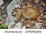Small photo of Aguti. Dasyprocta. Aguti in the fallen down leaves. Endemic mexican small animal in size with a hare it is very timid, but lives near to people.