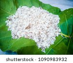 white ant eggs insect on green... | Shutterstock . vector #1090983932