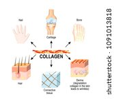 collagen is the structural... | Shutterstock .eps vector #1091013818