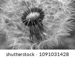 close up dandelion flower in... | Shutterstock . vector #1091031428