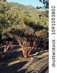 Small photo of Manzanita Tree - genus Arctostaphylos. California, USA