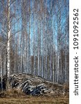 Small photo of big heap pile wood in wild birch forest