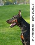 big black doberman male dog... | Shutterstock . vector #1091102636
