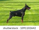 big black doberman male dog... | Shutterstock . vector #1091102642