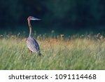 giant goliath heron  ardea... | Shutterstock . vector #1091114468