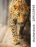 leopard portrait | Shutterstock . vector #109115945