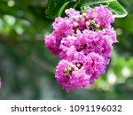 lagerstroemia under sunshine ... | Shutterstock . vector #1091196032