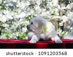 a little cute yellow labrador... | Shutterstock . vector #1091203568