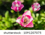 Three Pink White Tulips In Th...