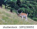 fallow deer  dama dama  in... | Shutterstock . vector #1091230052
