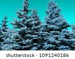 beautiful tall conifer trees...   Shutterstock . vector #1091240186