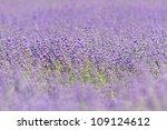 lavender field in southern... | Shutterstock . vector #109124612