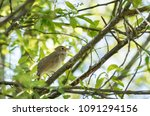nightingale on a branch | Shutterstock . vector #1091294156