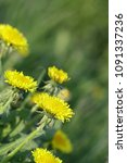 Small photo of The blossoming dandelions on a green meadow in sunny spring day vertically. Macro. Taraxacum. Asteraceae Family.