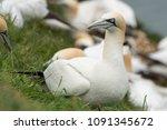grumpy looking gannet | Shutterstock . vector #1091345672