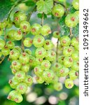 gooseberry growing in spring | Shutterstock . vector #1091349662